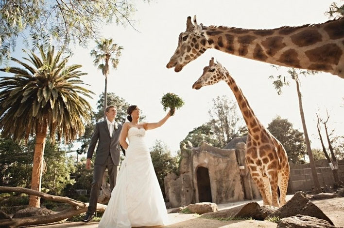 zoo-wedding-giraffes